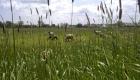 Schafe gehören zu Friesland wie die Berge zu Bayern