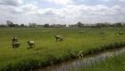 Schafe in der Wesermarsch
