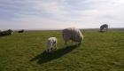 Schafe mit Lämmern auf dem Deich im Frühjahr