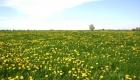 Eine gelbe Pracht auf einer Weide im Ammerland