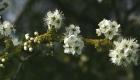 Schlehdornblüten in meinem Garten in Varel