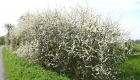 Schlehdornbusch in voller Blüte am Wegesrand in Friesland