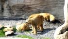 Eisbären im Zoo am Meer