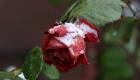 Rosenblüte beim ersten Wintereinbruch in Varel