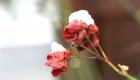 Rose verblüht mit Schneehaube