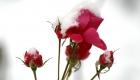 Schnee auf einer Rose